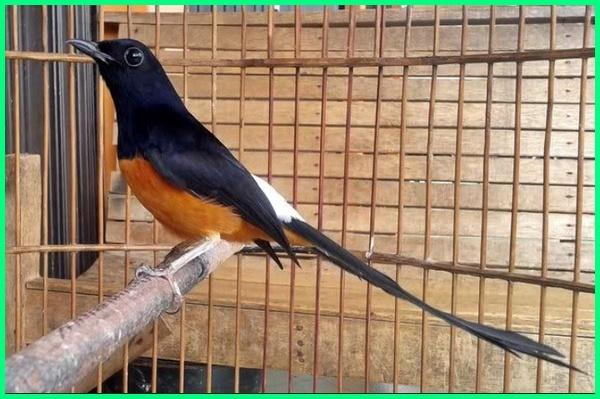 burung paling mahal di indo, burung paling mahal saat ini, burung paling mahal di indonesia, burung berkicau paling mahal, burung murai batu paling mahal, foto burung paling mahal, foto burung paling mahal di dunia, burung hias paling mahal, jenis burung paling mahal, burung kontest paling mahal