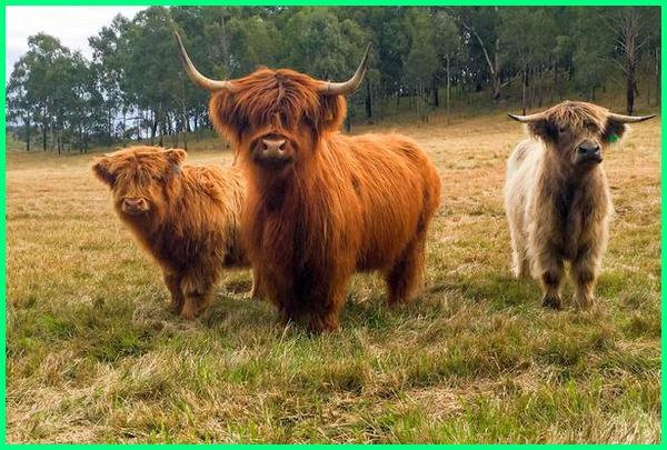 sapi berbulu lebat, sapi apa yang kecil