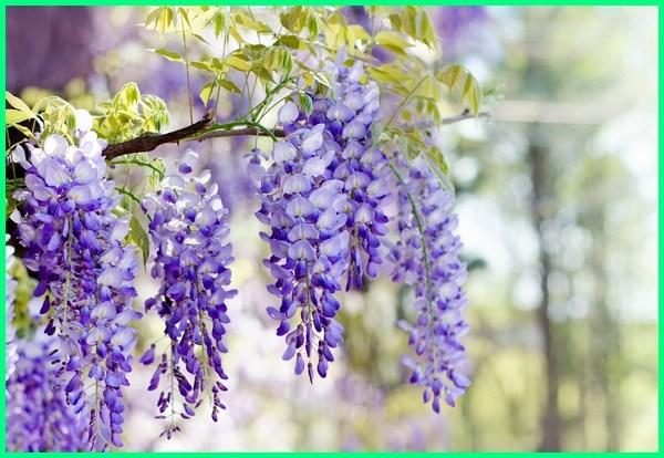 aroma bunga paling wangi, bunga paling harum di jepang, bunga paling harum dan indah, bunga yang paling indah dan wangi, jenis bunga paling wangi, nama bunga paling wangi, bunga paling wangi sedunia, tanaman bunga paling wangi, bunga yang paling wangi di dunia