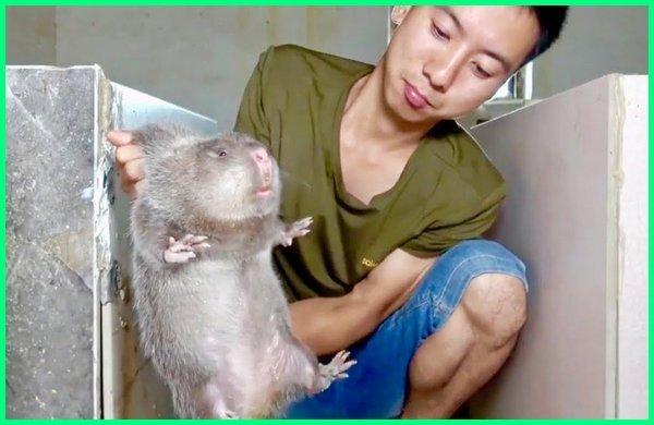 tikus terbesar di china, tikus terbesar di tiongkok, tikus terbesar di indonesia, tikus terbesar di malaysia, tikus got terbesar, tikus wirog terbesar, tikus mondok terbesar, jenis tikus terbesar, gambar tikus terbesar