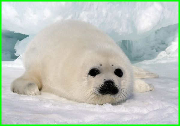 anjing laut lucu, foto anjing laut lucu, gambar anjing laut lucu, atraksi anjing laut lucu, anjing laut putih
