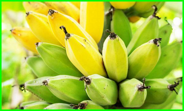buah pisang di pohon, artikel manfaat buah pisang, artikel manfaat tanaman pohon pisang