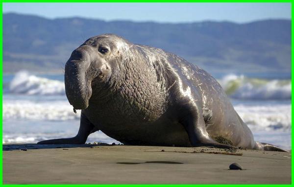 gajah laut terbesar di dunia, gajah laut raksasa, gajah laut wikipedia, gajah laut adalah, berat gajah laut, besar gajah laut, foto gajah laut, fakta gajah laut, gambar gajah laut