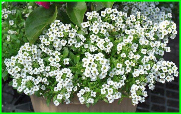 tanaman hias gantung warna putih, tanaman hias gantung warna putih kecil