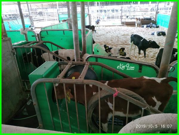jual sapi pedet murah, jual beli sapi pedet murah di jawa barat, jual pedet jantan di PT ultra Bandung selatan