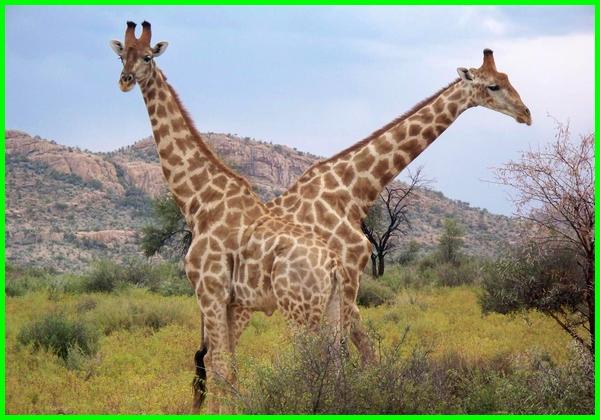 hewan jerapah dan penjelasannya, hewan jerapah dan ciri-cirinya, hewan jerapah berasal dari mana, hewan jerapah dan keterangannya, jerapah hewan pemakan, ciri hewan jerapah, ciri2 hewan jerapah, contoh hewan jerapah, ensiklopedia hewan jerapah