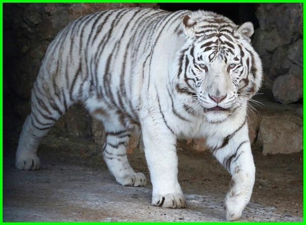 apa itu khodam harimau putih, apa arti mimpi dikejar harimau putih, maksud harimau putih, asal harimau putih, harimau putih dari mana, kenapa ada harimau putih