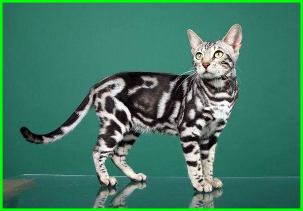 kucing bengal marble, kucing bengal silver marble mix oriental siam, gambar kucing bengal marble, kucing bengal marble garang, kucing bengal marble harga, kucing bengal motif marble, kucing ras bengal marble, kucing bengal silver marble, kucing bengal snow marble
