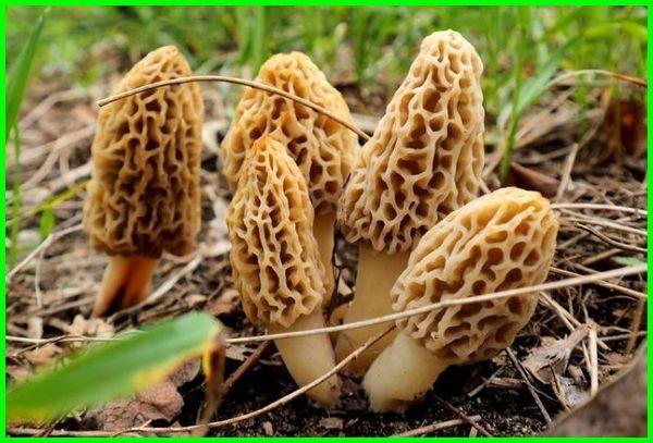 jamur paling mahal, jamur paling mahal di dunia, jamur yang berharga mahal, jamur langka dan mahal, jamur yang harganya mahal, jamur yg harganya mahal, jenis jamur paling mahal, jamur yang paling mahal, jamur yg paling mahal