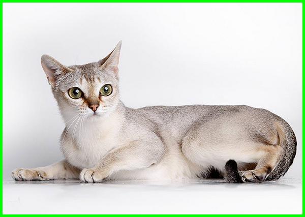 jenis kucing kecil lucu, jenis kucing kecil di dunia, jenis kucing yang kecil terus, jenis kucing bertubuh kecil, jenis kucing paling kecil, jenis kucing yang badannya kecil, jenis kucing yang berukuran kecil