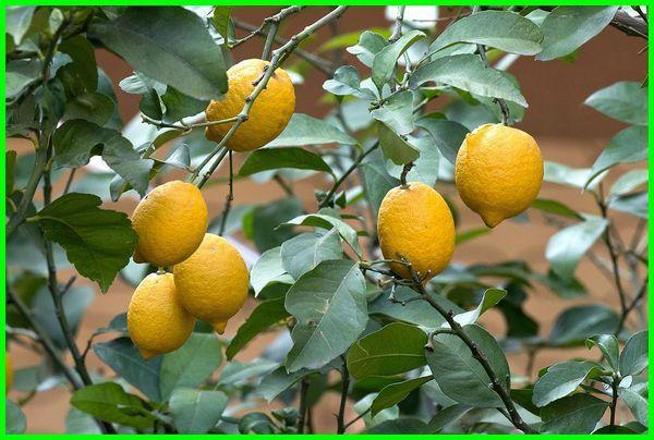 jenis jeruk lemon, macam jeruk, jenis jeruk, macam macam jeruk lemon, macam jenis jeruk lemon, macam jenis buah lemon, macam macam jenis jeruk lemon