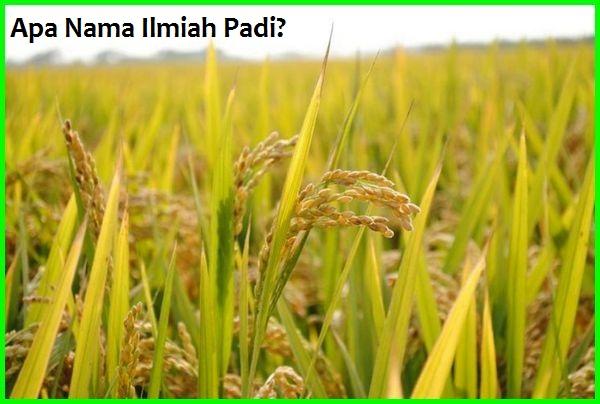 nama ilmiah padi, apa nama ilmiah padi, nama ilmiah yang benar pada tanaman jagung dan padi, apa nama ilmiah padi, nama ilmiah jagung, nama ilmiah mangga, nama ilmiah tumbuhan, nama ilmiah pisang, nama ilmiah kucing, nama ilmiah bawang merah, nama ilmiah hewan, nama ilmiah kunyit