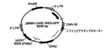 光活性化陽イオンチャネルおよびその使用