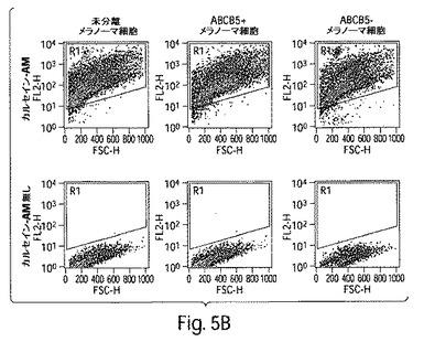 癌療法のためのABCB5標的化
