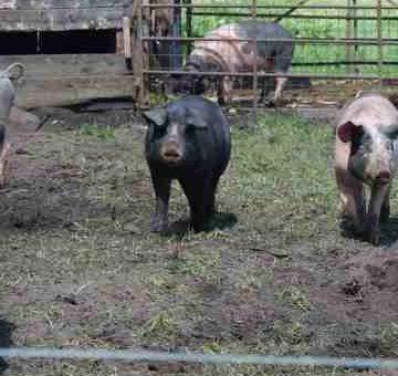 Luxe-ras varkensvlees