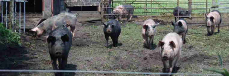 biologisch-varkensvlees-kopen