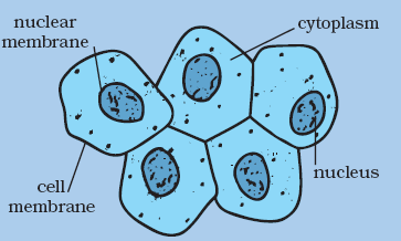 human cell wall diagram labeled 700r4 tcc wiring structure and functions biology cbse class 8 ekshiksha