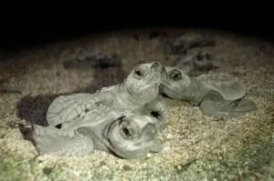 Turtle Babies