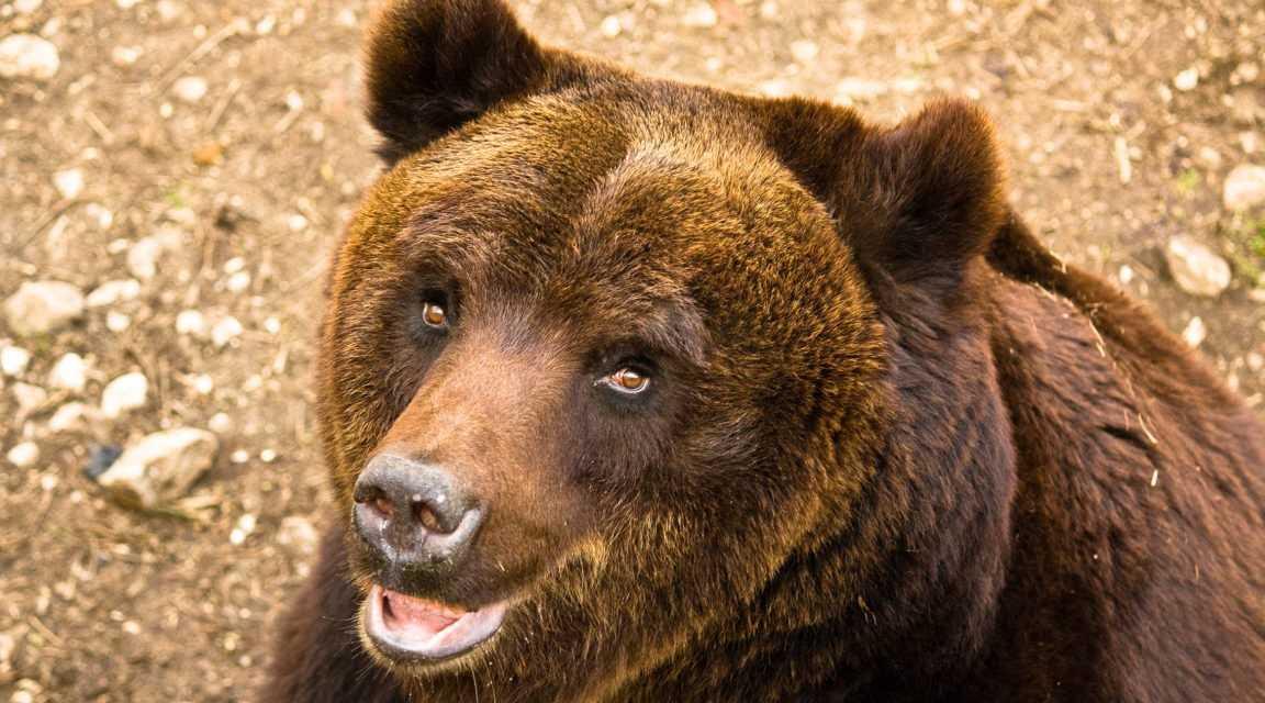 Avvistato un orso marsicano in provincia di Isernia: messi in guardia gli abitanti