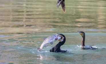 Cormorano con preda