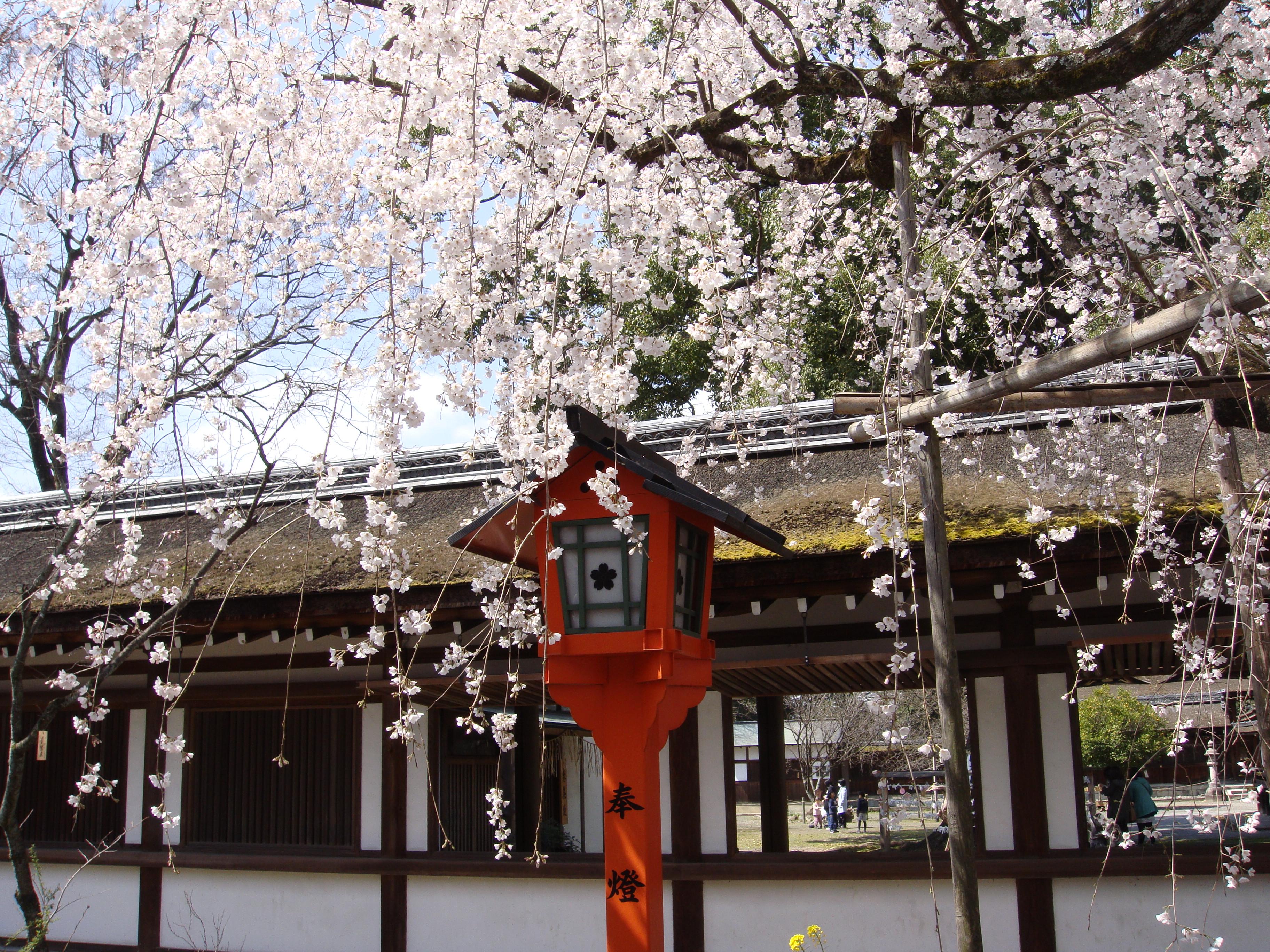 """「400本」もの桜の木がある京都、""""平野神社""""より 〜GWに春のエネルギーを体感しよう〜"""