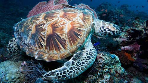 Tortue verte El Nido with El Dive