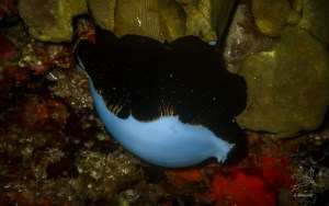 Cowry egg in Entalula reef