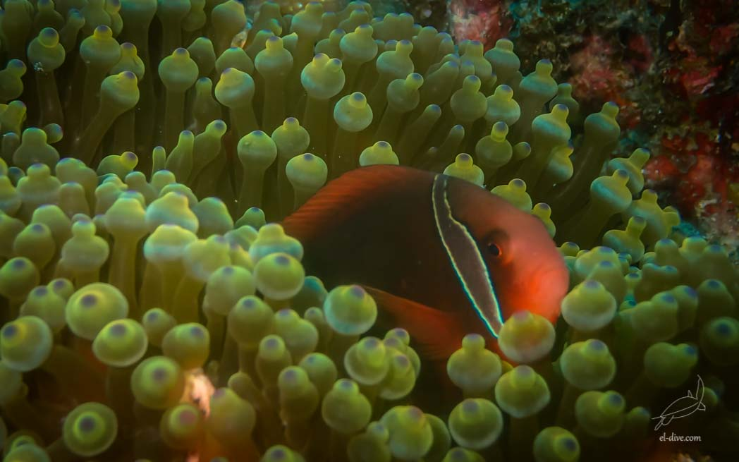 Hidden female tomato anemone fish in Helicopter island