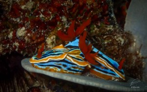 Nudibranch - Magnificent Chromodoris in Abdeens reef