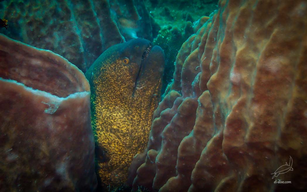 Yellowmargin Moray Eel in South Miniloc