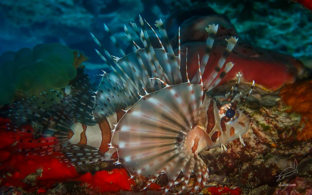 Zebra Lionfish in Helicopter island