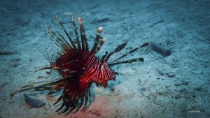 Common Lionfish in Paradise beach