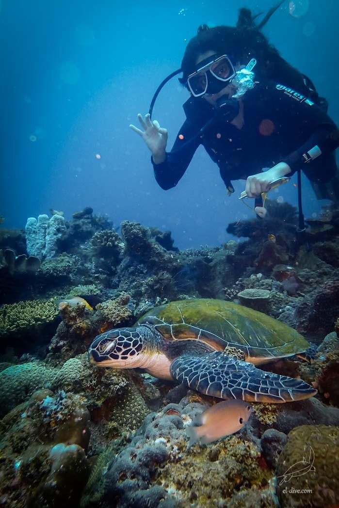 """Tortue verte endormie en compagnie d'une eleve effectuant la specialite sous-marine """"identification des poissons"""""""