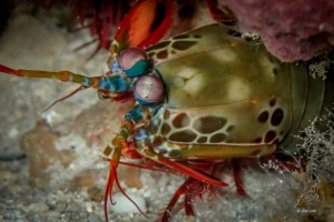 Smashing mantis shrimp in South Miniloc
