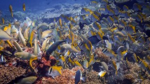 Shoal of fish in El Nido eating and staying together