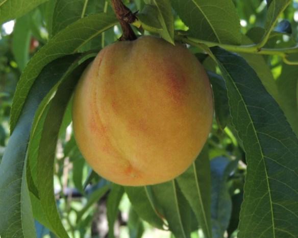 ripe peach #2