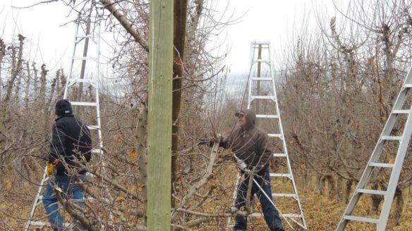 pruning IV 0115