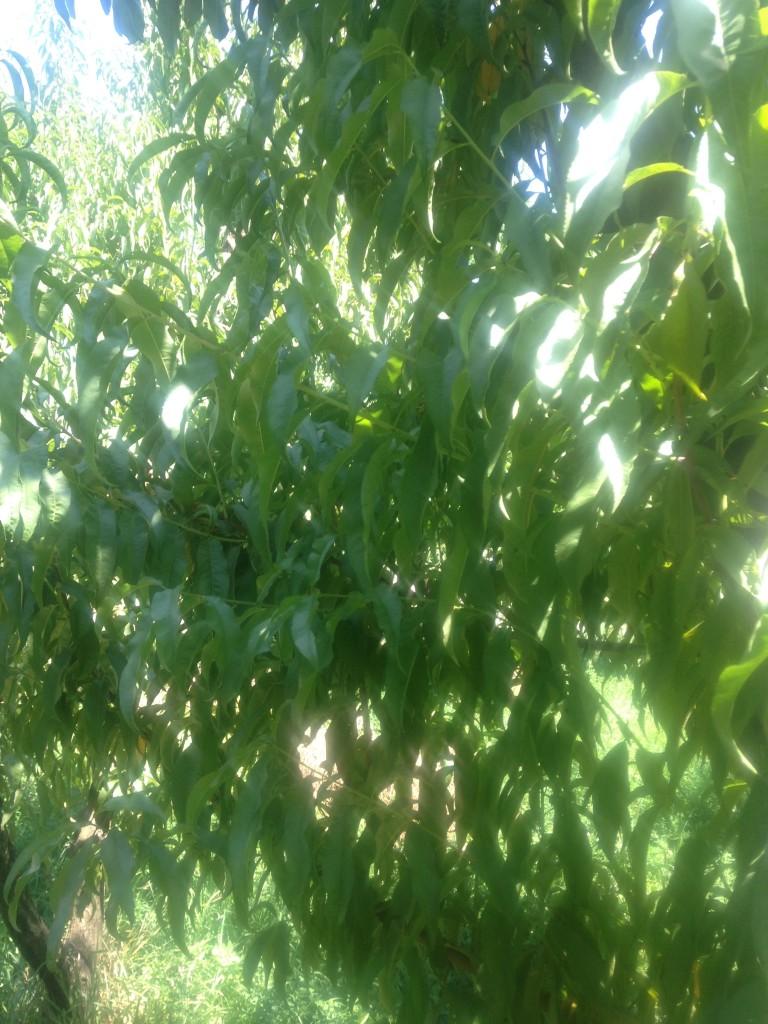 Peach tree no fruit