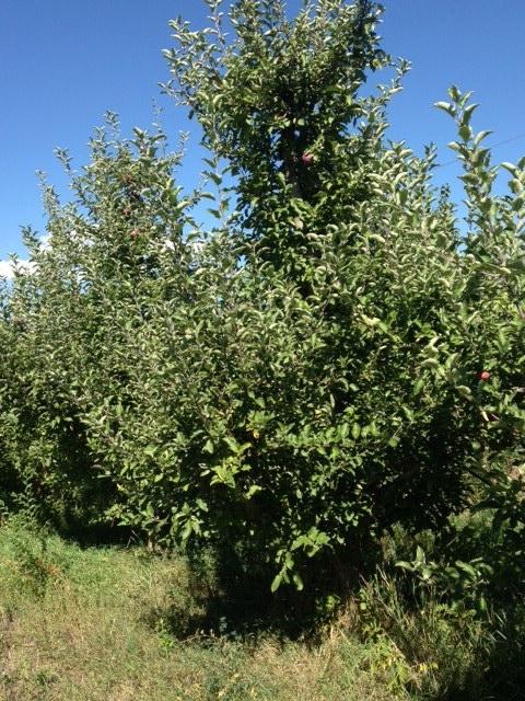 Blank apple tree1