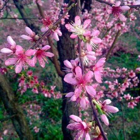 Peach bloom 150331