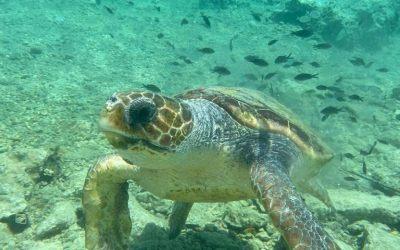 Le prime tartarughe hanno deposto le uova a Elafonisos