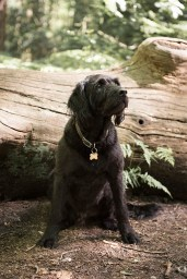 Portuguese Water Dog001