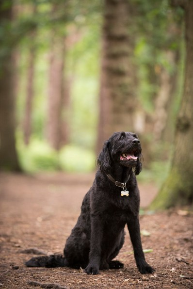 Portuguese Water Dog064