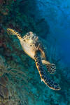Utila Turtle