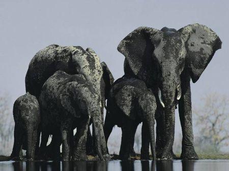 elefante - Mamás-animales. Ellas sí que saben