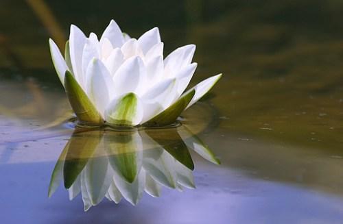 nenufar - Escucha tu voz interior. De Lao-Tse
