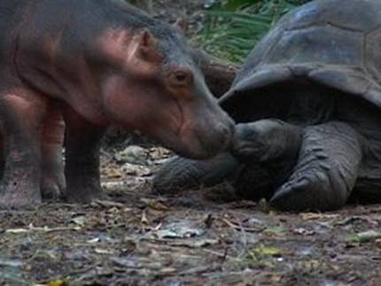 hipo2 - La historia real del hipopótamo y la tortuga: las diferencias no son obstáculo para la ayuda mutua y el Amor