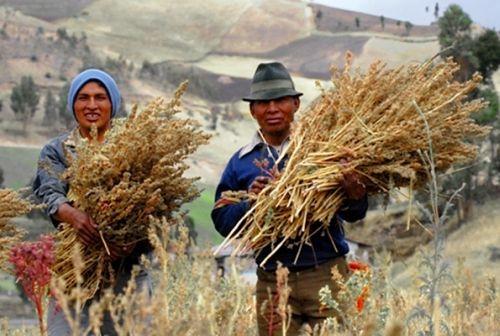 quinoa3 - Quinoa: alimento de oro. De los incas a los astronautas