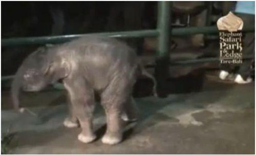 elefante - El nacimiento de un elefante y el valor de una madre