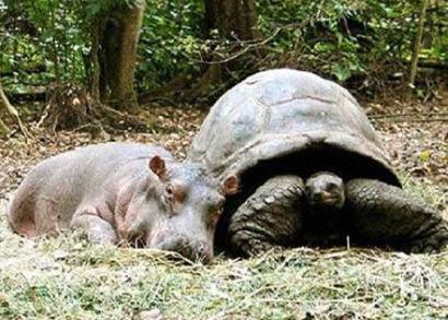 owen11 - La pareja del año 2009: el hipopótamo huérfano Owen y la tortuga Mzee